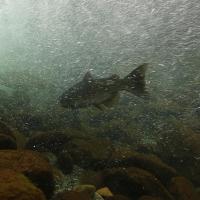 salmon below riffle